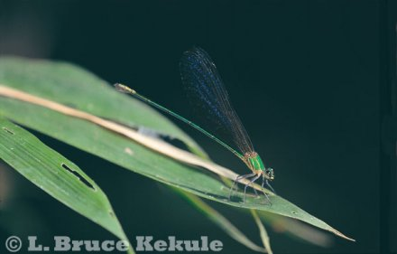 Damselfly in Salak Phra