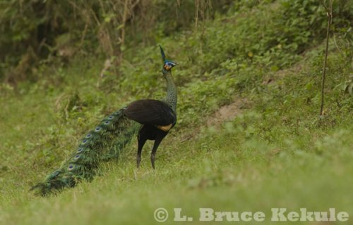 Green peafowl male in Huai Kha Khaeng