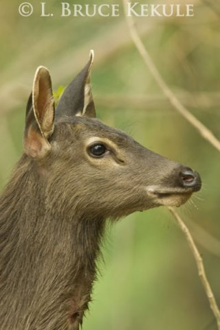 Sambar yearling