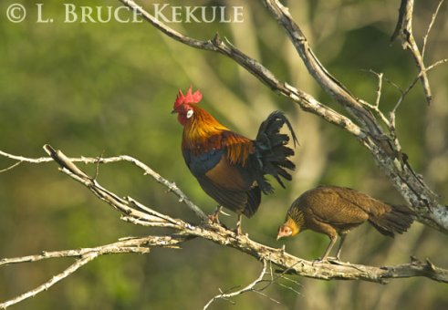 Jungle fowl in Khao Ang Rue Nai WS