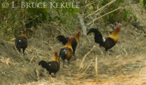 Red jungle fowl - Western sub-species
