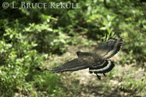 Crested serpent-eagle in Huai Kha Khaeng