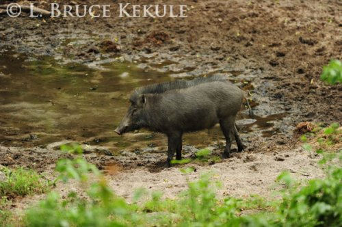 Wild pig in Huai Kha Khaeng