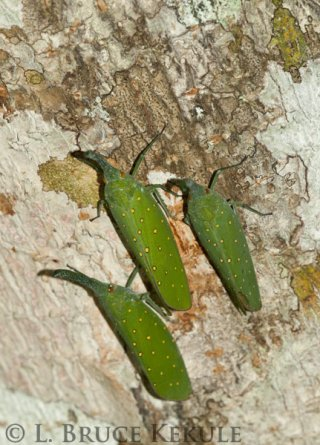 Lantern bugs in Huai Kha Khaeng