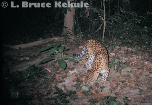 Leopard camera-trapped on a nature trail in Kaeng Krachan