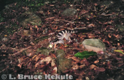 Banded palm civet in Kaeng Krachan