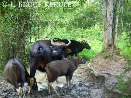 Gaur herd at a mineral lick