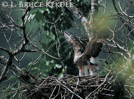 Lesser fish-eagle