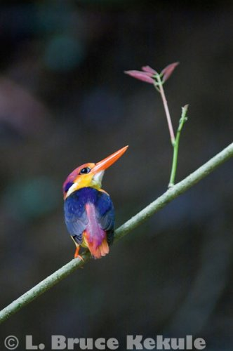 Oriental Dwarf Kingfisher in Kaeng Krachan