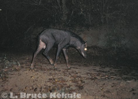 Serow camera-trapped in Kaeng Krachan