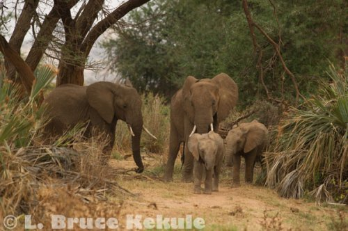 Elephant family group in Samburu