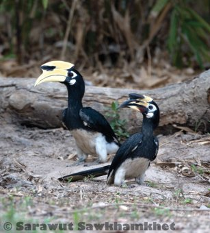 Oriental pied hornbill in Kaeng Krachan