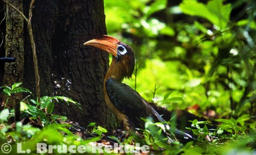 Brown hornbill in Huai Kha Khaeng