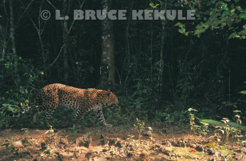 Leopard hunting on a trail