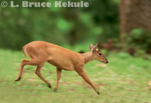 Common muntjac on the run near Mae Klong River in Thung Yai