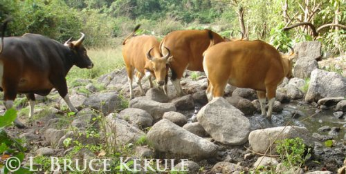 Banteng bull and cows in Huai Khaeng