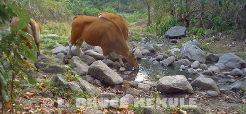 Banteng cows camera-trapped at a waterhole