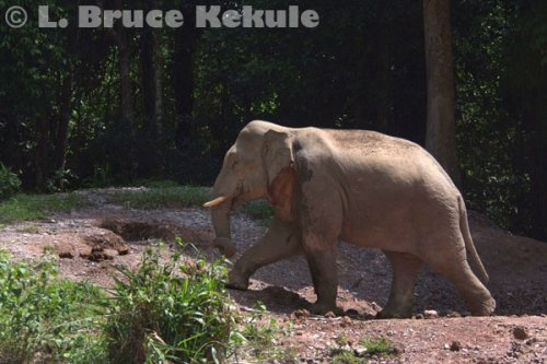 tusker-in-khao-yai