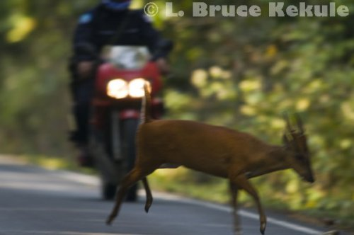 Muntjac jumping a motorcycle