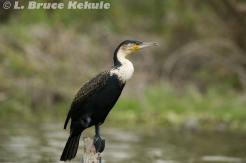 African cormorant in Lake Nakuru