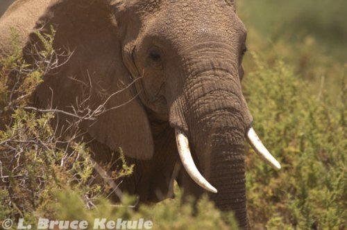 African elephant in Samburu