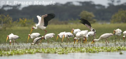 Painted storks in lake Nakuru
