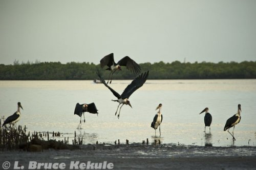 Marabou Storks in Lamu Island