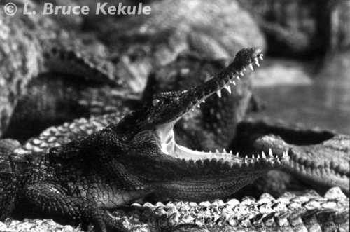 Siamese crocodile in the Samut Prakan crocodile farm