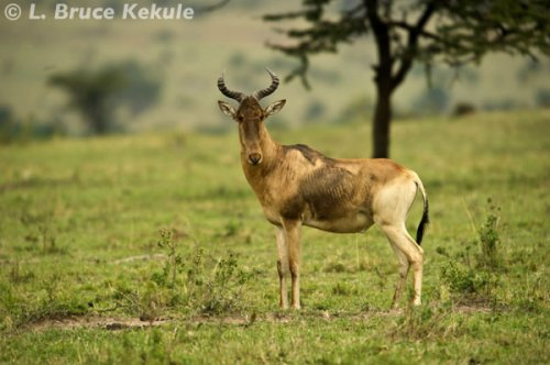 Red hartebeest in the Masai Mara