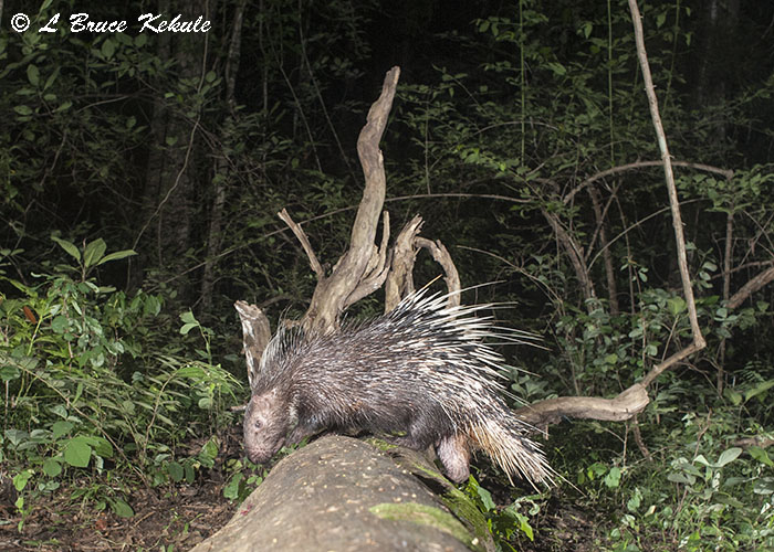 Asian porcupine in HKK