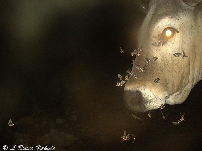 Banteng bull  and night moths in Huai Kha Khaeng Wildlife Sanctuary