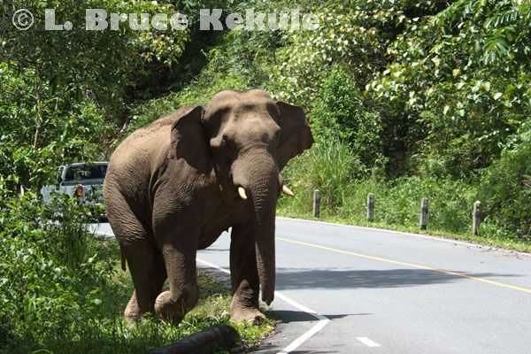 Tusker on the road in Khao Yai