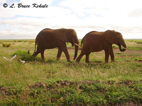 african-elephants-in-amboseli-np