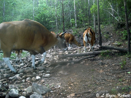 Banteng bull  and herd in Huai Kha Khaeng Wildlife Sanctuary