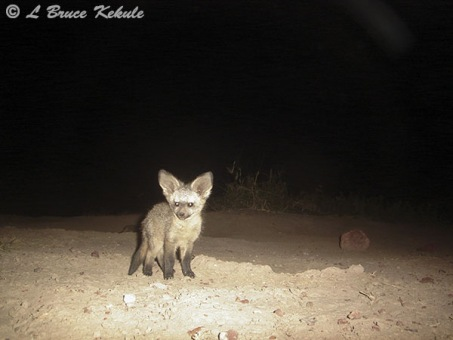 Bat-eared fox in Amboseli