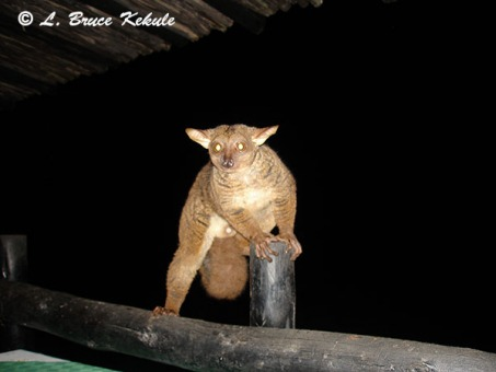 bushbaby-male-in-shimba-hills