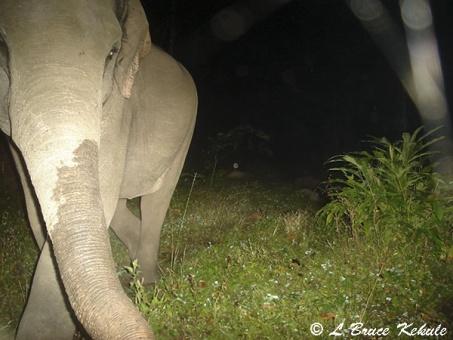 Elephant 2 in Huai Kha Khaeng