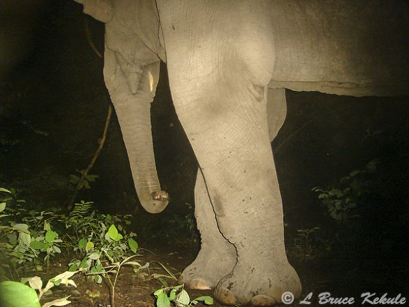 Elephant's female showing tushes in HKK