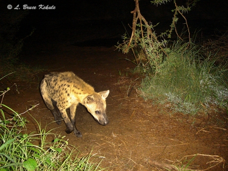 Hyena in Kenya 2012