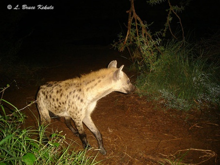 Hyean, Kenya 2012
