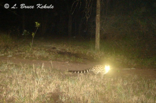 Large-spotted genet camera trapped in Kenya
