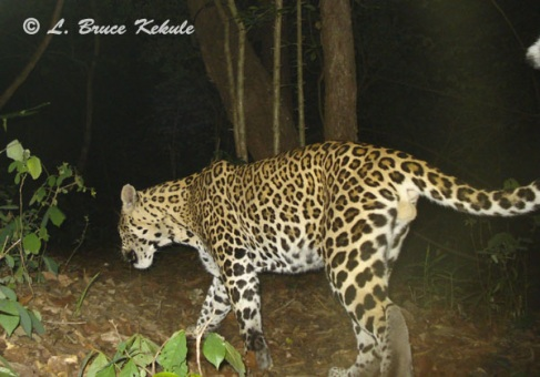 Leopard caught by W55/Otter 2000 in Huai Kha Khaeng