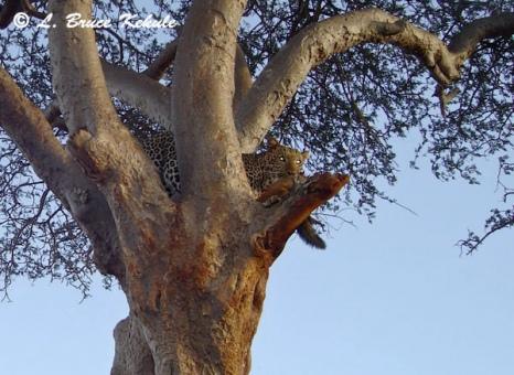 Leopard caught in Tsavo East by Sony S600 cam