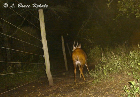Male bushbuck camera trapped in Kenya