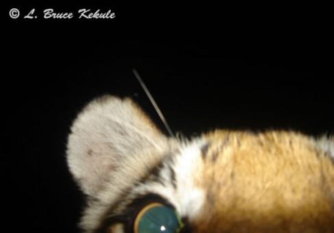 Tiger cub up-close in Subkow mineral lick