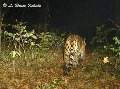 Tiger in Subtakkong
