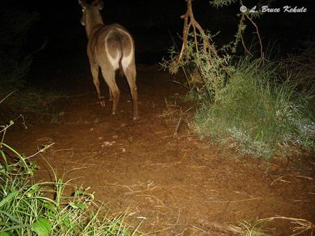 Waterbuck camera trapped in Kenya, Africa 2012