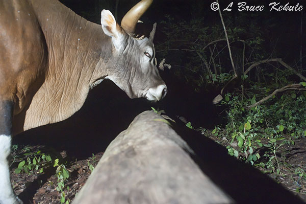 Banteng bull in Huai Kha Khaeng Wildlife Sanctuary