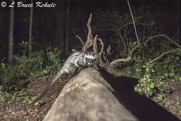 Common Palm Civet in Huai Kha Khaeng