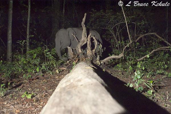 Elephant 1 in Huai Kha Khaeng